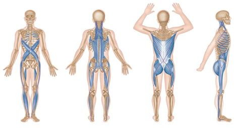 cadenas musculares thomas myers pdf alles zit aan elkaar vast en heeft invloed op elkaar