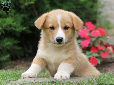 corgi puppies for sale in ohio best 20 corgi puppies for sale ideas on corgi dogs for sale small