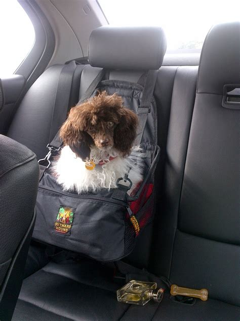 pictures of car seats for dogs huxtable the poodle poodle parti poodle