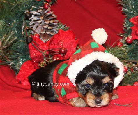yorkie puppies for sale washington state tinypuppy teacup yorkie breeder offers teacup terrier puppies for sale in