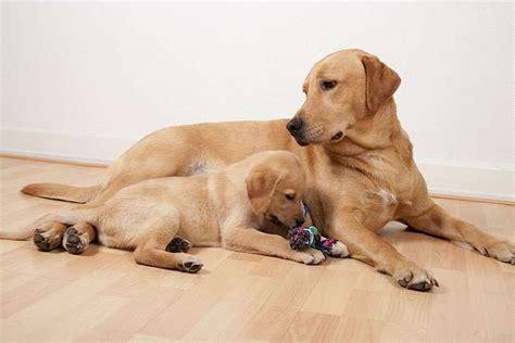 alimentazione labrador retriever alimentazione labrador retriever consigli di cani it