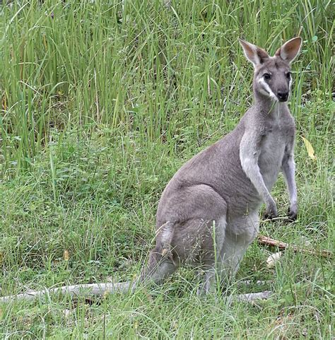 imagenes del animal walabi whiptail wallaby wikipedia