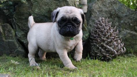 pug vancouver those puppy can help a bond with owner ctv vancouver news