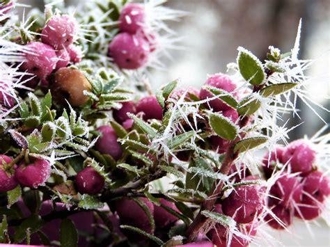 Rosa Bl Hender Baum 2259 by Im Winter Bl 252 Hende Blumen Bl Hende Pflanzen Auch Im