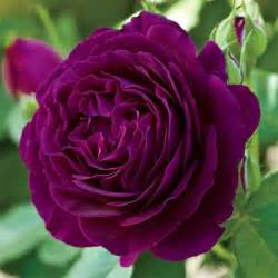 Gardening Zone - twilight zone grandiflora rose jung garden and flower