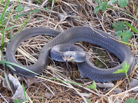 black racer black racer snake coloring online pictures