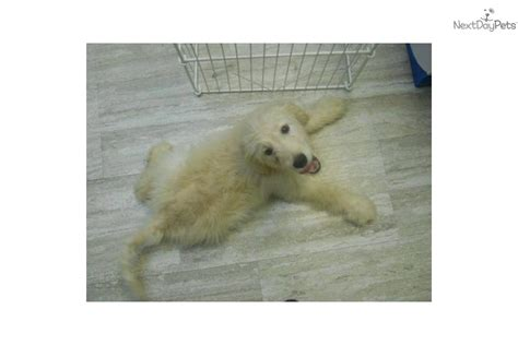 goldendoodle puppy for sale nj meet pluto a goldendoodle puppy for sale for 0