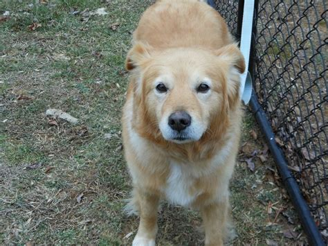 golden retriever rescue atlanta 17 best images about dogs needing forever homes on