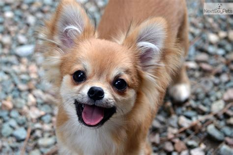 chihuahua puppies for sale in va chihuahua puppy for sale near richmond virginia 2880348b 73f1