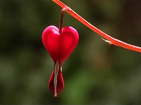 imagenes variadas y hermosas flores hermosas corazones sangrantes im 225 genes y fotos