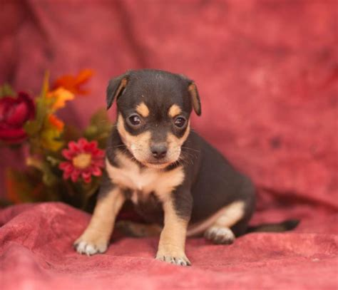 rat terrier mix puppies for sale caring rat terrier mix puppies craigspets