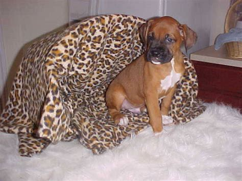boxer puppies for sale houston small breed puppies available for adoption houston dogs for sale breeds picture