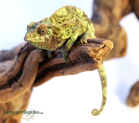 jackson s chameleon care chamaeleo jacksonii