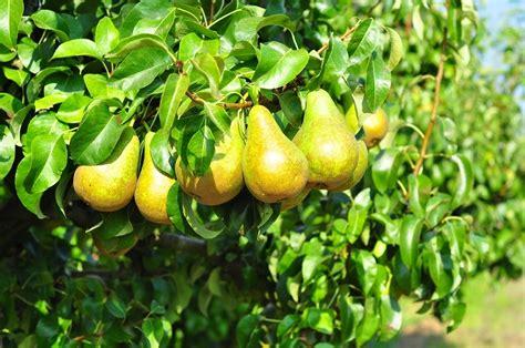 fiori alberi da frutto foto albero da frutto pero di valeria treste 330389