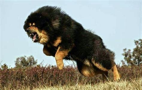alimentazione tibetana tibetan mastiff all big breeds