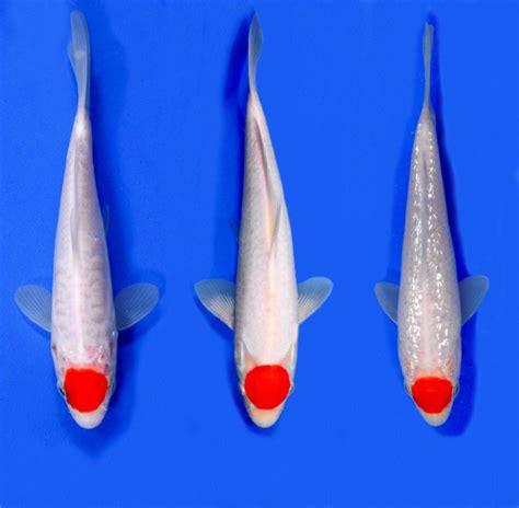 jenis ikan koi yang populer bisa tak terhingga jumlahnya ikankoi org