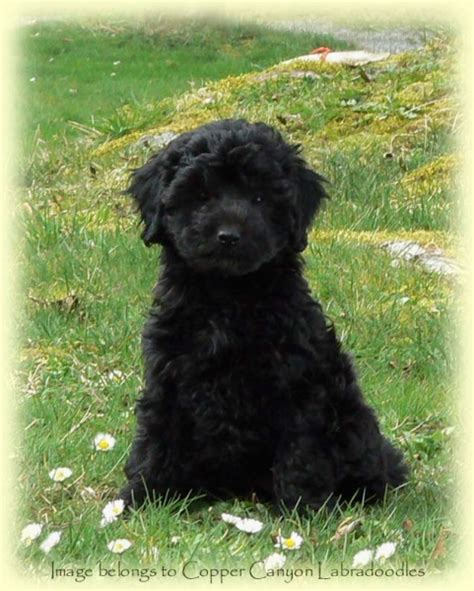 black labradoodle puppies for sale australian labradoodles puppies for sale vancouver bc copper labradoodles