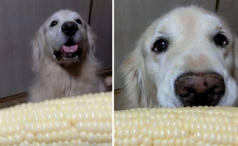 can dogs eat corn cobs strange talents this can eat corn on the cob in record time barkpost