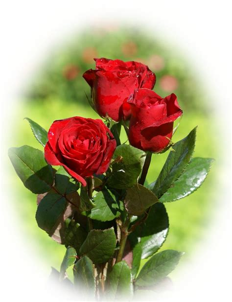 imagenes d flores rojas related keywords suggestions for imagenes rosas rojas