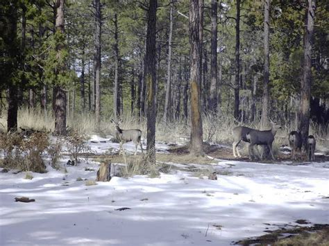 timberon nm cabins timberon nm mule deer outside our cabin photo picture