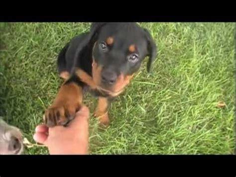 2 week rottweiler puppy rottweiler puppy 12 weeks