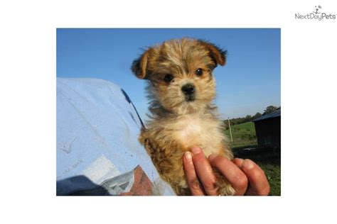yorkie poo puppies for adoption yorkiepoo yorkie poo puppy for sale near southeast missouri missouri 826bcab6 6b71