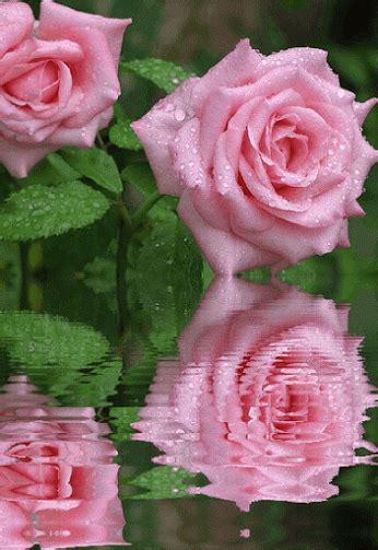 imagenes con movimiento de rosas rojas imagenes de rosas con movimiento