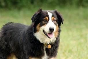 australian shepherd black tri quelle race de chien choisir les conseils d un