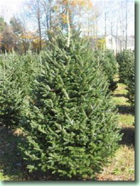 christmas tree needle retention balsam fir soft needles needle retention and are famously fragrant they are