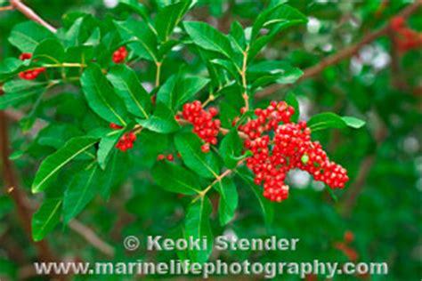 christmas berry schinus terebinthifolius