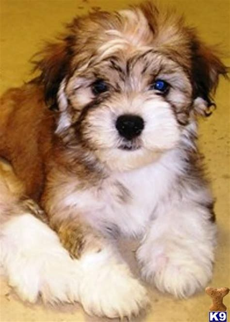 havanese vs cockapoo havanese puppies havanese puppies for sale and puppy images on