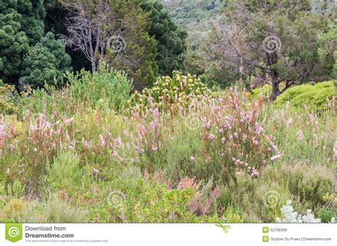 Kirstenbosch Botanical Gardens Indigenous Plants Fynbos And Protea Plants In The Kirstenbosch Botanical Gardens Stock Photo Image 52736396