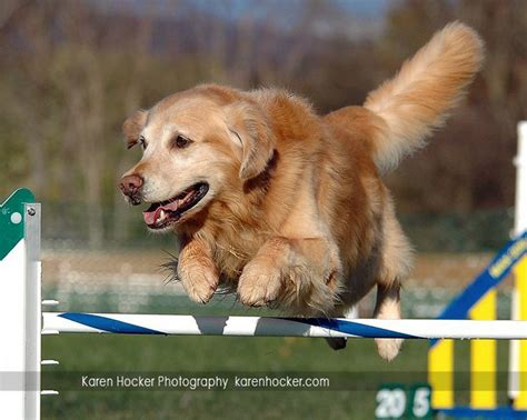 golden retriever puppies for sale in ny golden retriever puppies for sale near watertown ny photo