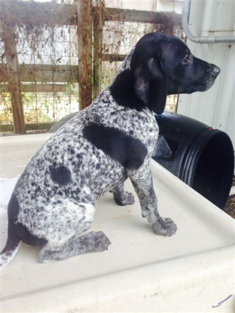 german shorthaired pointer puppies nc german shorthaired pointer puppies nc breeds picture