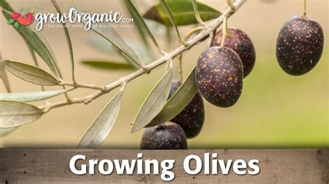 growing organic olives - When Do Live Trees Go On Sale