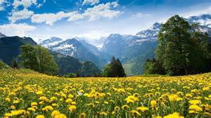 Yellow Landscape Pictures Field Landscape With Yellow Flowers Mountains