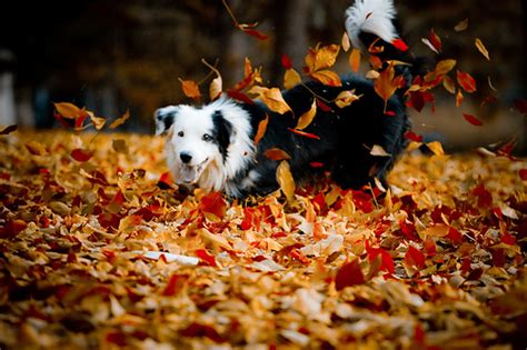 puppy fell on animal border collie fall image 591593 on favim