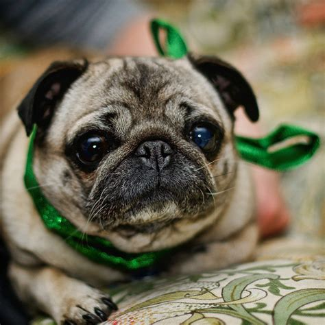 care for pugs pug don t care for them myself this one is called q flickr photo