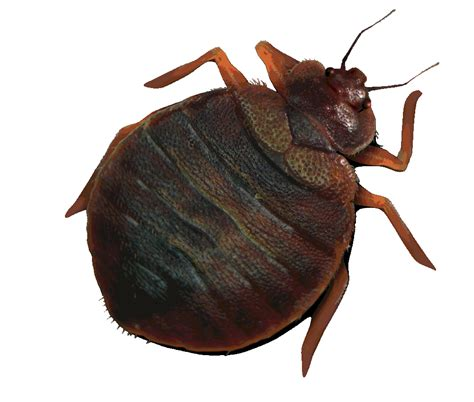 pic of bed bugs get rid with bed bugs