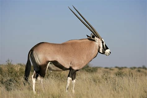 Habitat of Antelopes: This is Where These Deer-like ...