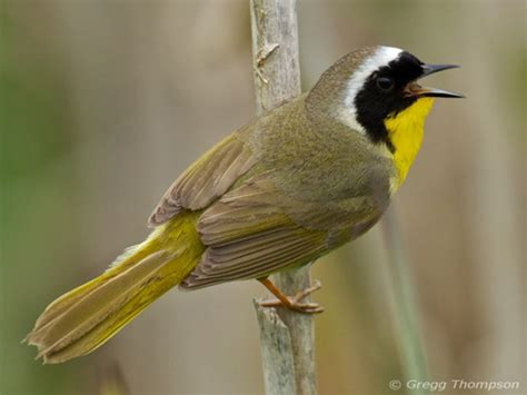 best 28 california birds that sing at