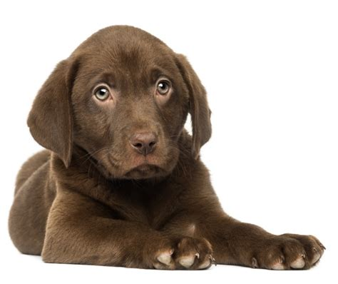 Labradors Shedding by 2017 Charming Small Chocolate Labrador Behavior