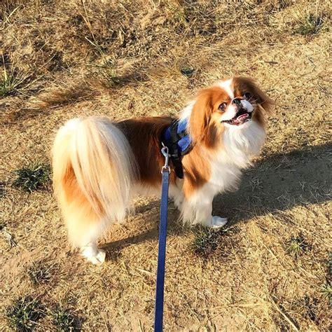 piccola taglia da appartamento cani piccola taglia le 36 razze di cani piccoli perfette