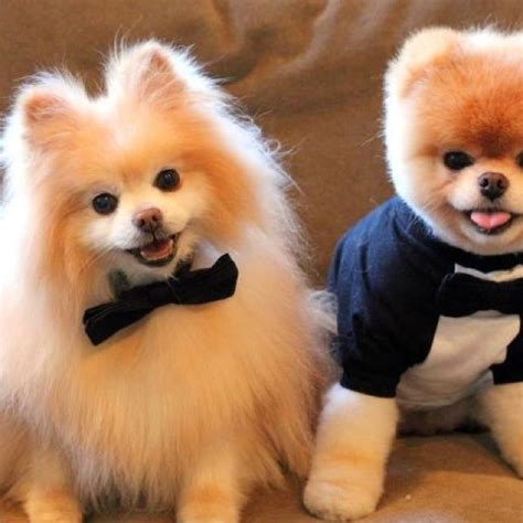 pomeranian teddy traditional pomeranian cut compared to a teddy cut shape paw shape exle