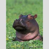 Hippopotamus Face In Water   366 x 488 jpeg 191kB