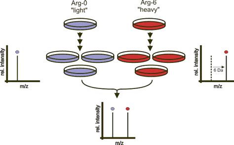 Color Spectrometer stable isotope labeling by amino acids in cell culture