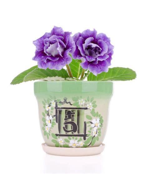 gloxinia bulbs for sale online flowers bulbs pinterest