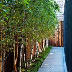 use a row of white bark birch trees along a fence line to give additional privacy garden