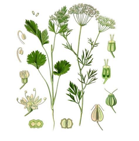 fiori di anice piante aromatiche anice pimpinella anisum l