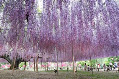 ashikaga flower park beautiful ashikaga flower park japan general interest